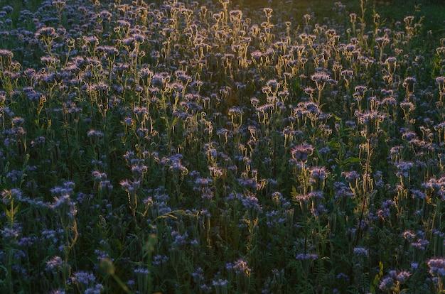 Champ de fleurs violettes au coucher du soleil Photo Premium