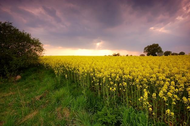 Champ de flores jaune au coucher du soleil Photo gratuit