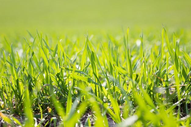 Champ d'herbe verte jeune, gros plan. jeune herbe de printemps. champ de blé jeune Photo Premium