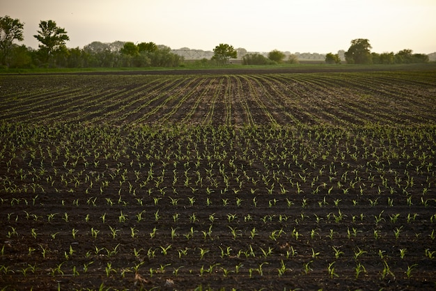 Champ de maïs des terres agricoles Photo gratuit