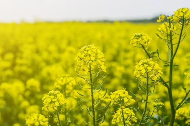 Champ de moutarde en début d'été, en période de floraison Photo Premium