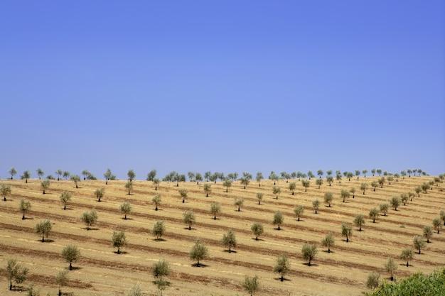 Champ d'olives vertes dans une journée ensoleillée d'été Photo Premium