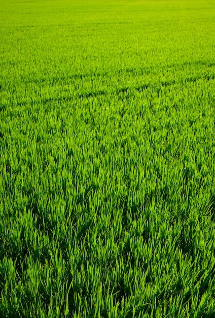 Champ de riz d'herbe verte à valence en espagne Photo Premium