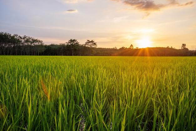 Champ de riz avec lumière du lever ou du coucher du soleil et rayon de soleil Photo Premium