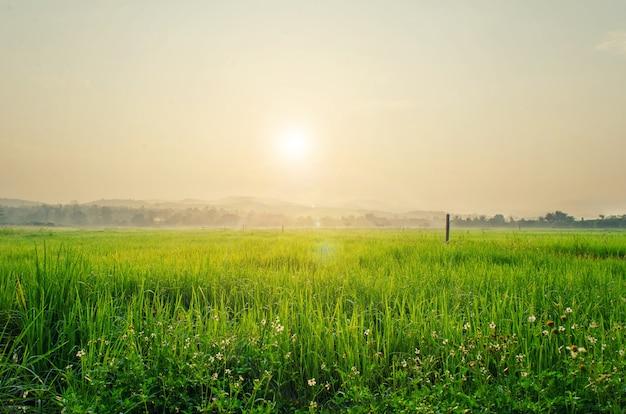 Champ de riz et soleil matin. Photo Premium