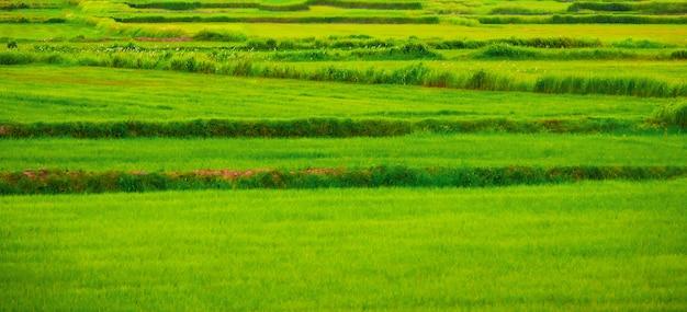 Champ de riz vert en thaïlande - vert coloré. Photo Premium