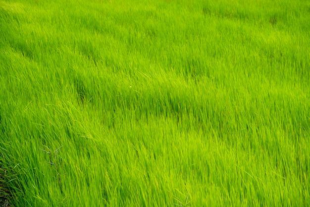 Champ de riz vert en thaïlande Photo gratuit