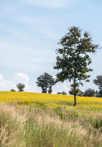 Champ sunhemp (crotalaria juncea) sur la colline. Photo Premium