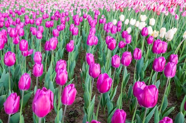 Champ de tulipes au japon Photo gratuit