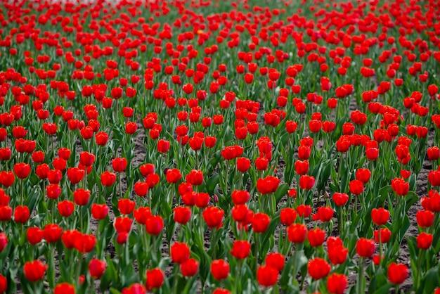 Champ de tulipes colorées Photo Premium