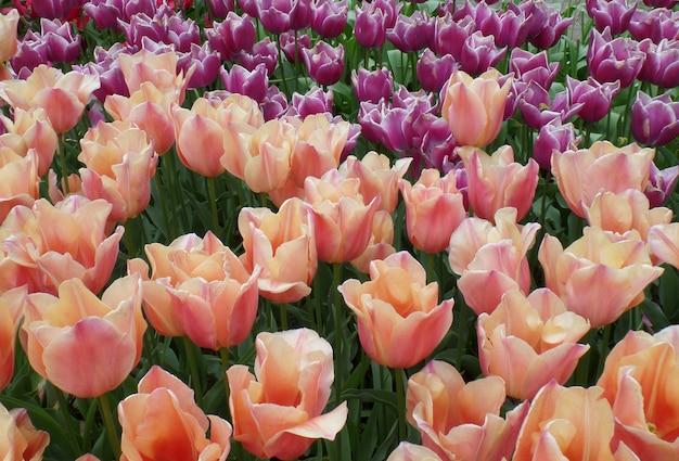 Champ de tulipes de rose pastel Photo Premium