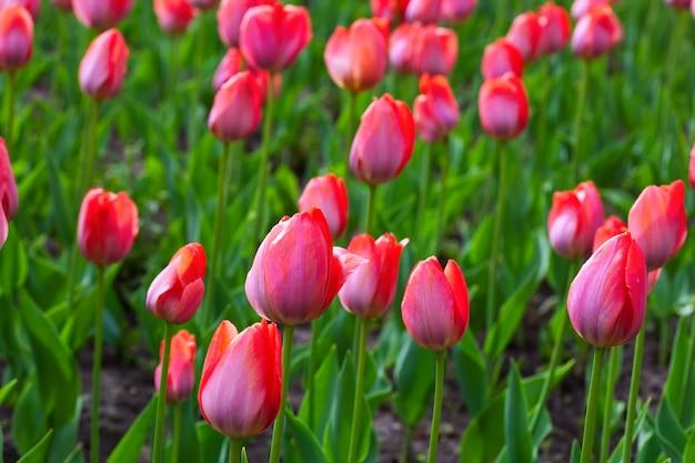 Champ de tulipes rouges Photo gratuit