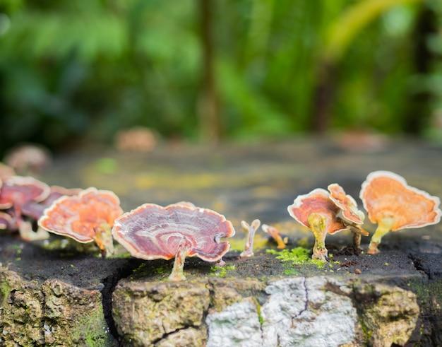 Champignon trametes versicolor sur les arbres en forêt Photo Premium