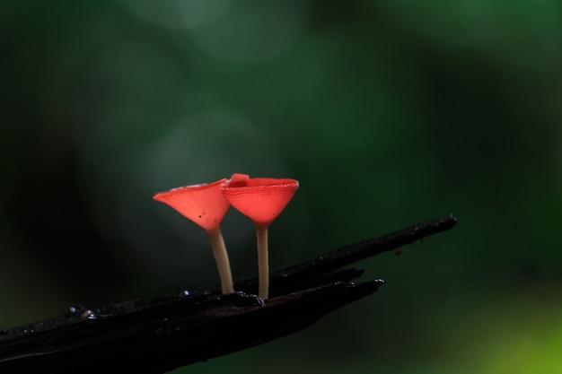 Champignons rouges, champignon rose burn cup, tarzetta rosea (rea) dennis, pustuluria rosea rea Photo Premium