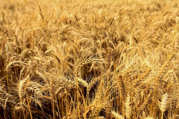 Champs de blé en été Photo Premium