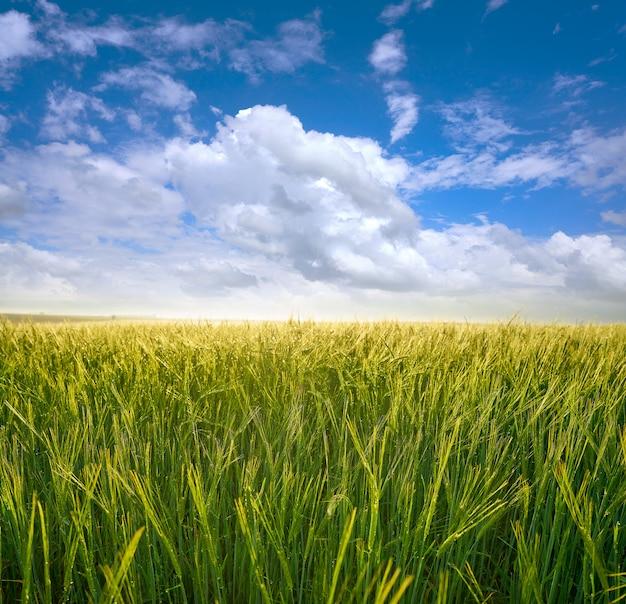 Champs de céréales vertes sous le ciel bleu Photo Premium
