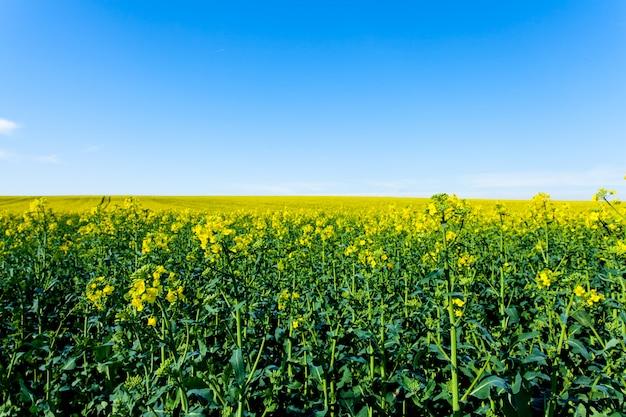 Champs de colza en fleurs Photo Premium