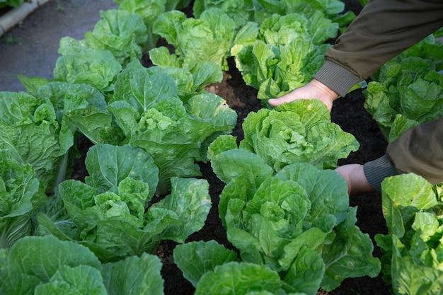 Champs d'irrigation de fermier de chou dans le potager Photo gratuit