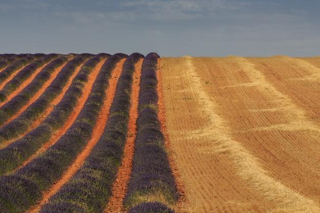 Champs De Lavande Et De Blé Collectés. Concept D'agriculture Photo Premium