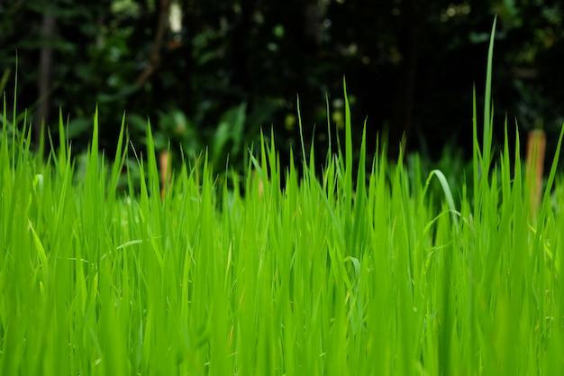 Champs de riz ou d'herbe verte près de la forêt avec des arbres plus denses. Photo Premium