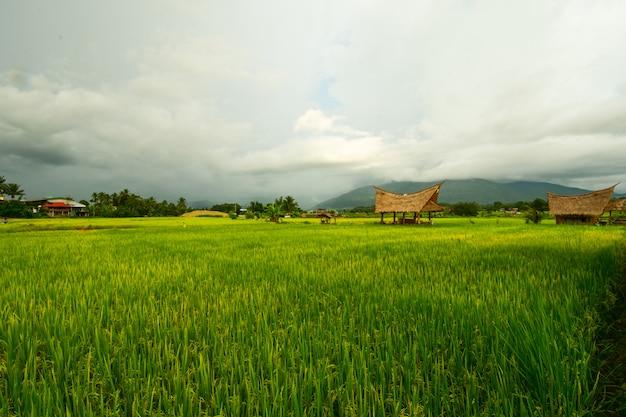 Champs avec des rizières. Photo Premium