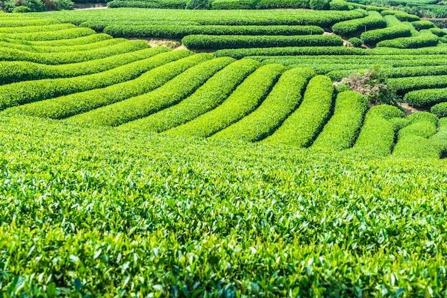 Champs de thé Photo gratuit