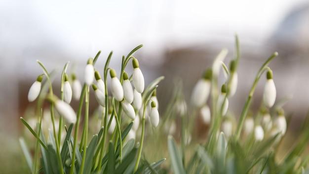 Changement De Saison Dans La Nature, Au Printemps. Perce-neige Délicat En Fleurs - Galanthus Nivalis En Journée Ensoleillée Photo Premium