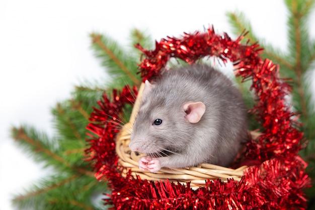 Charmant Rat Dumbo Dans Un Panier Avec Des Décorations De Noël. 2020 Année Du Rat. Nouvel An Chinois. Photo Premium
