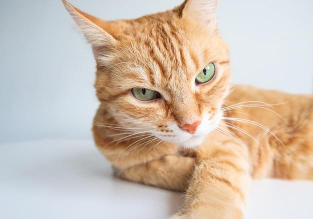 Chat au gingembre couché et regardant sérieusement Photo Premium