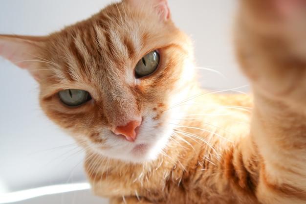 Chat au gingembre prenant un selfie et regardant sérieusement. Photo Premium