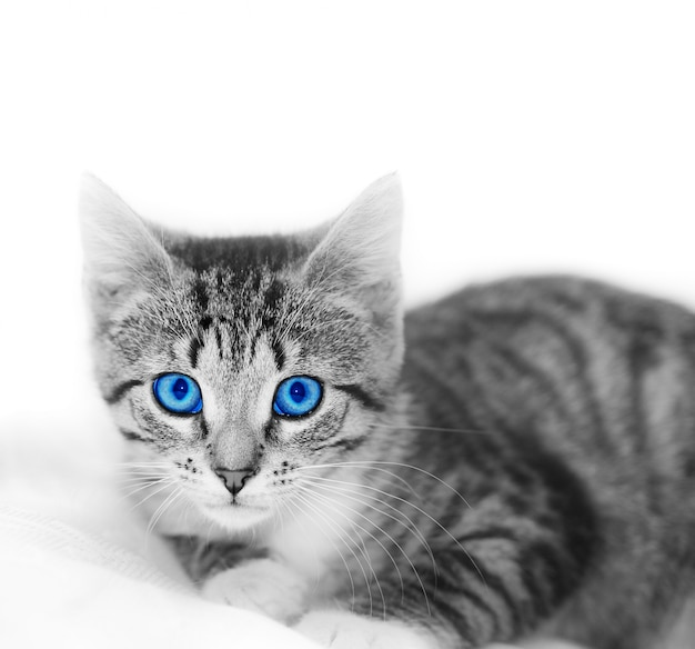 Chat aux yeux bleus Photo gratuit