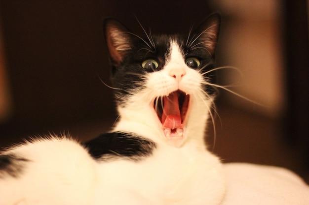 Chat béant, chat noir et blanc hurlant Photo Premium