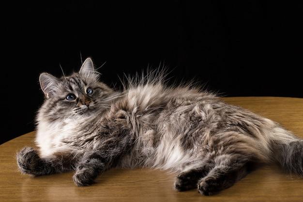 Chat de beaux cheveux long allongé sur la table, sur fond noir Photo Premium