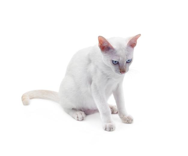 Chat Blanc Aux Yeux Bleus Sur Fond Blanc. Photo Premium