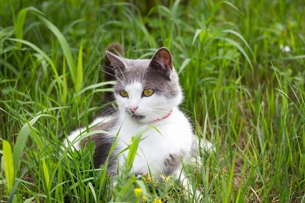 Chat blanc gris sur l'herbe verte jouant au chat en été Photo Premium
