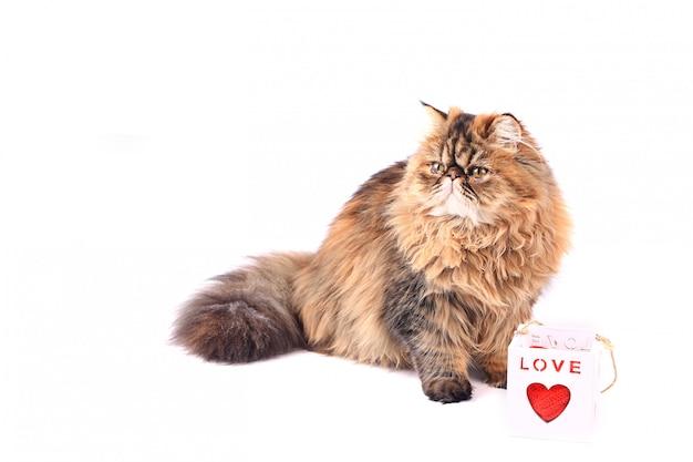 Chat avec boîte-cadeau coeur isolé sur fond blanc. chat persan tricolore Photo Premium