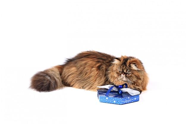 Chat avec une boîte cadeau isolée sur fond blanc. chat persan tricolore Photo Premium
