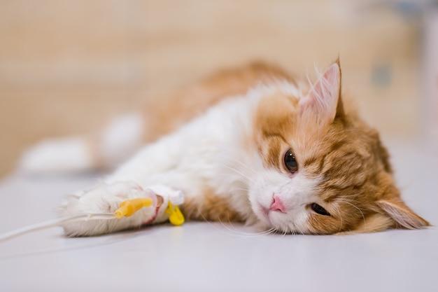 Chat avec compte-gouttes sur table en clinique vétérinaire Photo Premium