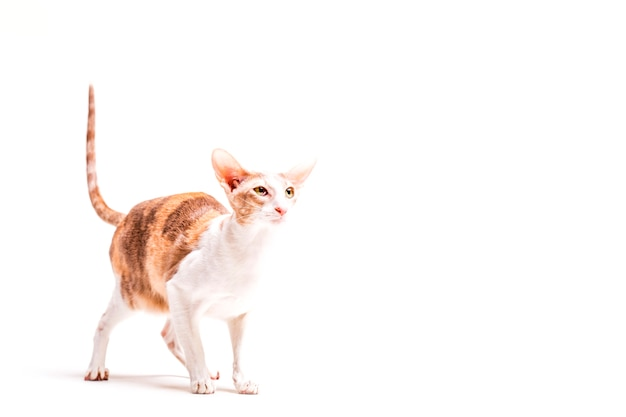 Chat cornish rex avec sa queue debout sur fond blanc Photo gratuit