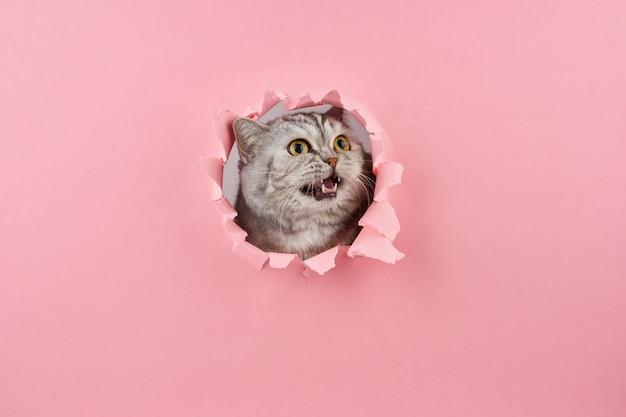 Chat crier dans un trou dans le carton rose, concept de comportement animal Photo Premium