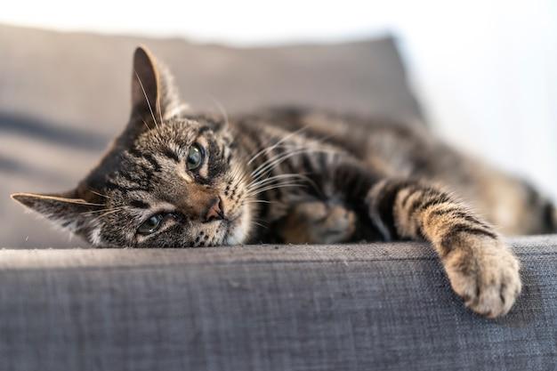 Un Chat Domestique Gris Et Blanc Dormant Sur Un Beau Canapé Dans Une Maison. Meilleur Ami De L'homme, Meilleur Animal, Chat Précieux Photo Premium