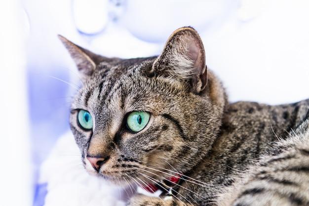 Chat du bengale maigre et athlétique aux yeux bleus Photo Premium