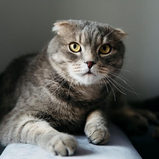 Chat écossais mignon à la maison Photo gratuit