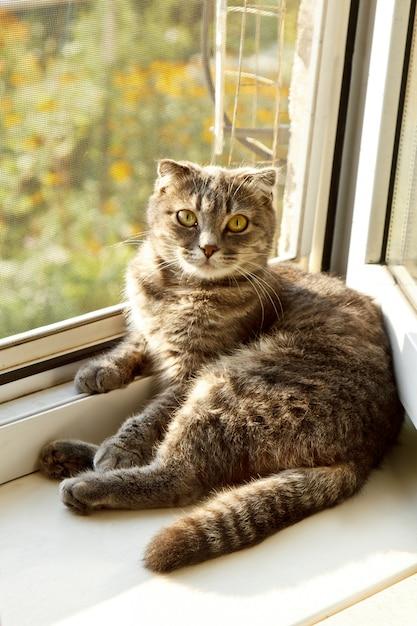 Un Chat écossais à Oreilles Lâches De Couleur Grise Avec Des Yeux Jaune Vif Se Trouve Sur La Fenêtre. Photo Premium