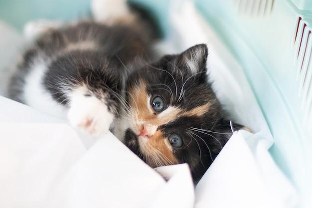 Le chat est assis dans un porteur pour animaux. Photo Premium