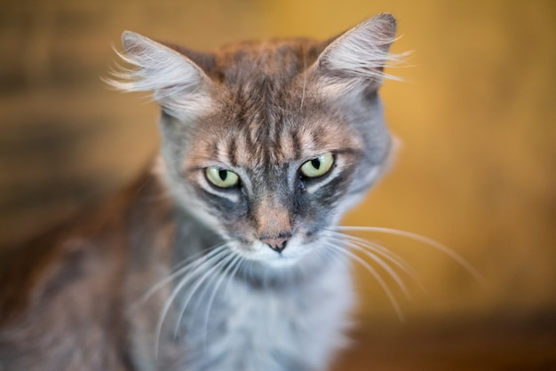 Chat gris avec impatience Photo Premium