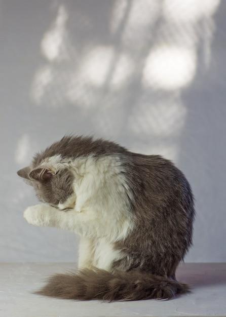 Chat gris a les pattes sur son visage Photo Premium