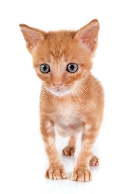 Chat minou avec fourrure orange. Photo Premium