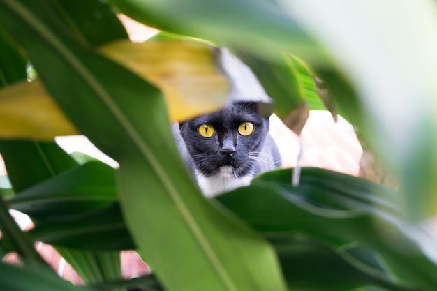 Chat noir aux yeux jaunes caché dans un buisson, chassant le chat Photo Premium