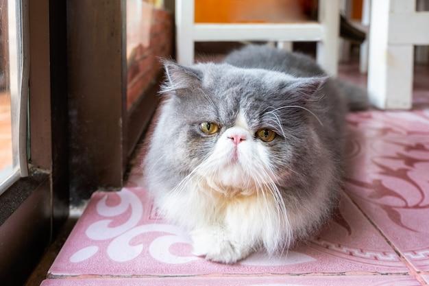 Chat persan gris-blanc moelleux cheveux longs couché avec à la recherche Photo Premium
